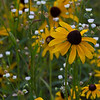 Black eyed Susan - July 12, 2012
