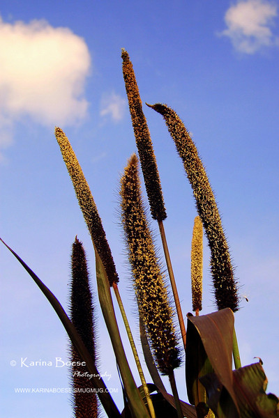 Ornamental Millet / Purple Majesty