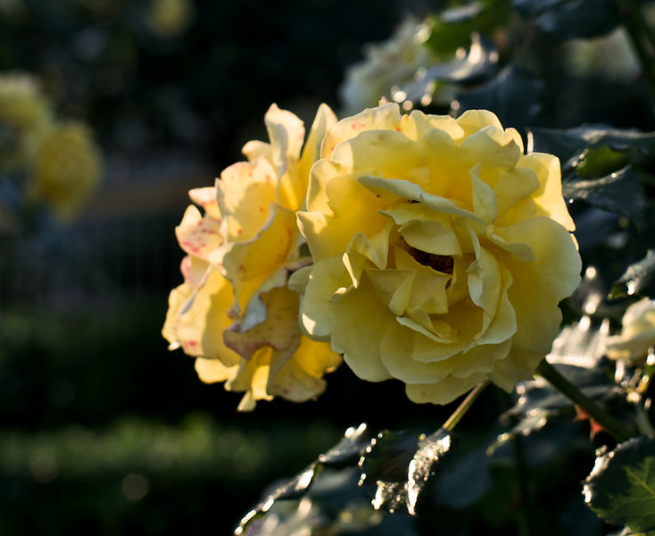 Roses_2010-11-17_628_DJB_rights_reserved