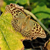butterfly hawk-moth at dacha, Odessa, Ukraine