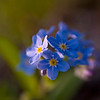 Forget Me Not 02