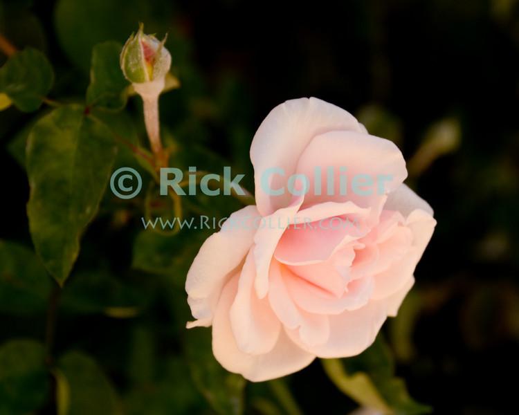 """Pink Rose.  Ocean Grove, New Jersey, USA.<br /> <br /> <br /> pink rose rosebud bloom blossom flower flowers USA """"New Jersey"""" NJ """"Ocean Grove"""" Ocean Grove"""