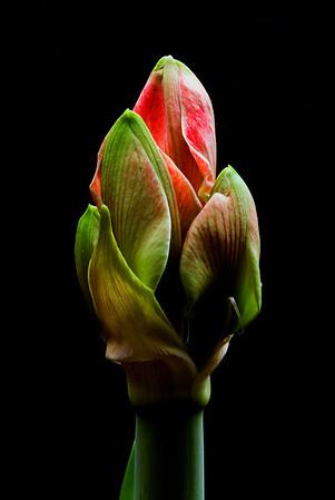 Amaryllis buds