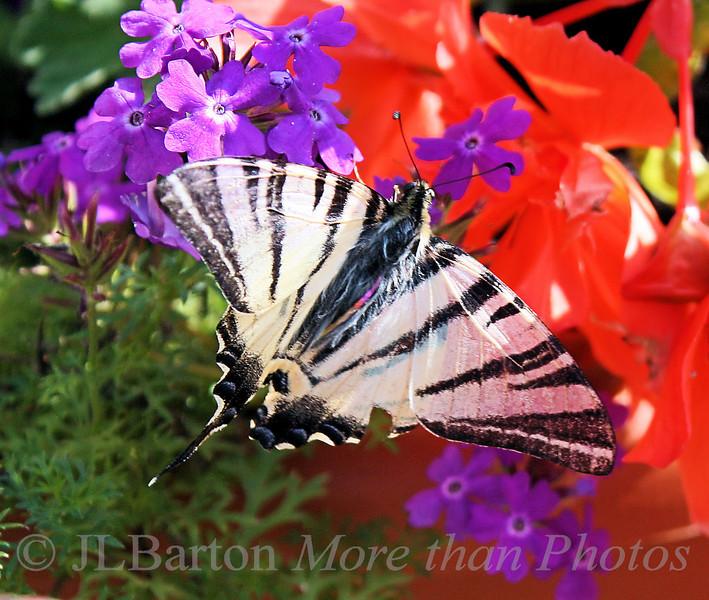Segelfalter Endangered species - Iphiclides podalirius (Scarce Swallowtail)