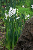 Very early Spring bulbs - in December! (Narcissus)