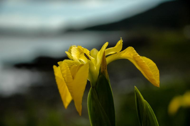 Iris, Mull