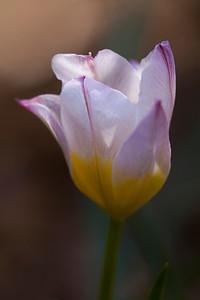 Candia Tulip (Tulipa saxatilis) - Alfred B. Maclay Gardens State Park, Florida
