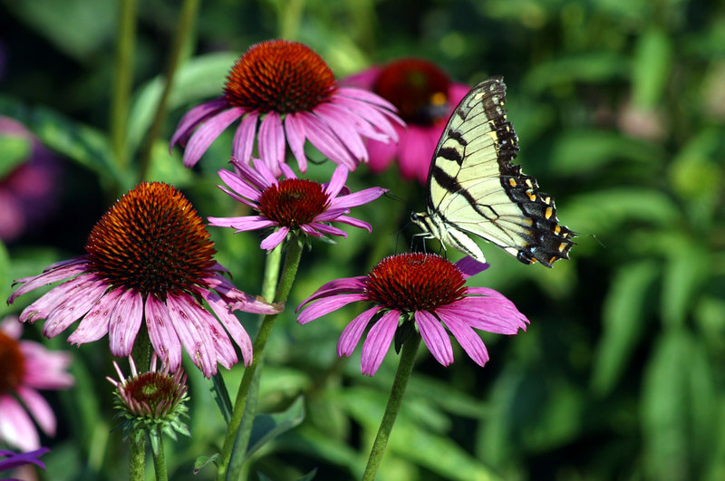 I love this picture of the butterfly on the purple coneflower.  The colors are so vibrant!  This was taken at Callaway Gardens in September, 2005.