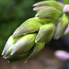 Spring bud: the Hosta plant.