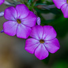 Mountain Phlox - May 20, 2012