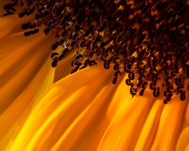 The lush gold and brown of a sunflower in the morning light.