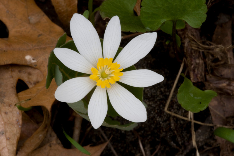 Bloodroot - Sanguinaria canadensis - April 2008
