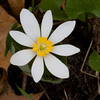 Bloodroot - Sanguinaria canadensis - April 2008