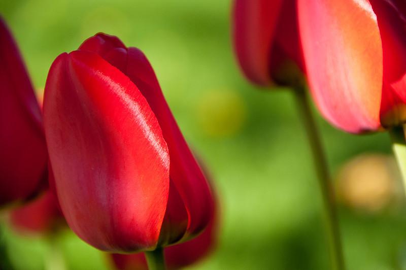 Red Tulip 2011