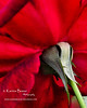 Sepal of Oklahoma Red Rose