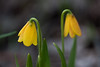 Yellow Bell (Fritillaria pudica), a member of the lily family growing near Soda Springs, Idaho
