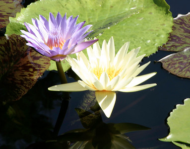 Water Lilies, Missouri Botanical Garden