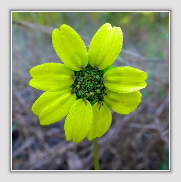 tiny wildflower in bloom (spurge?)