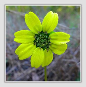 tiny wildflower in bloom (spurge?)