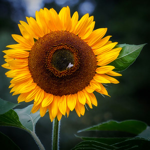 The obligatory sunflower picture.