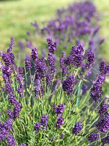 Waves Lavender Farm