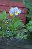 Viola in Spiderweb Lace_-9