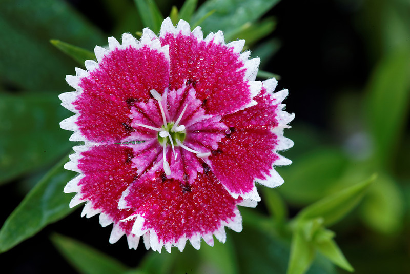 China Pink (Dianthus Chinensis) - Alfred B. Maclay Gardens State Park, Florida