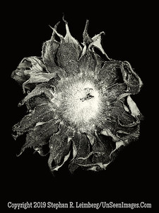 Back of Sunflower - B&W Copyright 2018 Steve Leimberg UnSeenImages Com 2018-08-06 16-26-08 (A,Radius8,Smoothing4)
