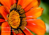 "Gazania Daybreak Bronze  Playing with my <a href=""http://www.bhphotovideo.com/c/product/22750-REG/Hoya_670212_67mm_Close_up_Kit_1_2_4_.html"">close-up lens kit</a> today... I'm pretty happy with what I have.  Very cheap solution while deciding which macro lens I should get. I got my close-up lens at Houston Camera Exchange for $51."