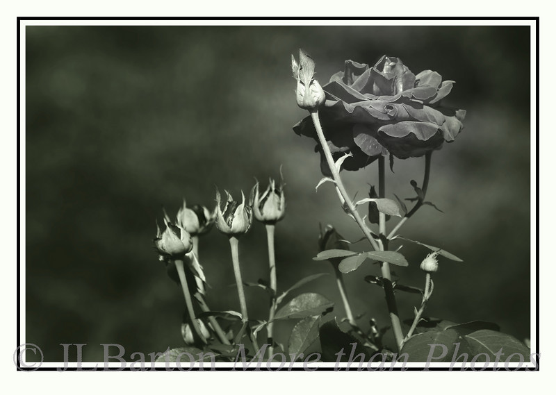 """The Black Rose 2010-08-06:  This is a rose bush in our garden.  I started with B&W and worked for a bit and ended up with this.  Then I couldn't decide what to call it.  """"Death and Rebirth"""", """"Generations"""", """"Remembrance"""", and finally decided to leave the title area on the picture blank.  At any rate, I hope you enjoy it.  Many thanks for your kind comments on yesterday's pasture picture.  Walking through this nature park is always relaxing (well maybe not today, it is raining heavily).  Have a nice day."""
