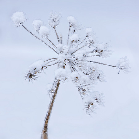 This is the remains of a flower-head from a cow parsnip, as seen after a light snow and heavy frost.  The next photo in this gallery is the same flower head in early spring.
