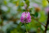 Red Clover (Trifolium pratense), a member of the pea family in Glacier National Park