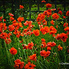 Red Poppies<br /> Poppies in bloom at Gairloch Gardens, Oakville, Ontario, Canada