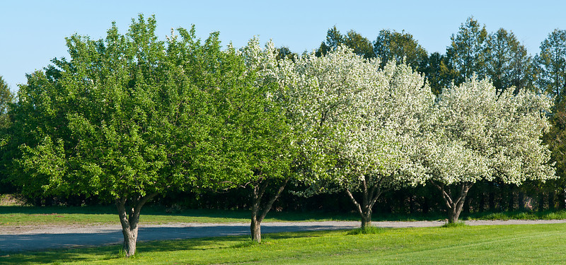 Four Apple Trees