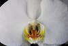White Orchid, phalaenopsis amabillis
