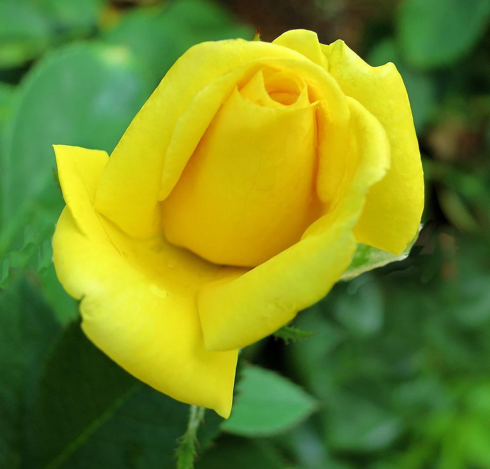 Shockwave rose
