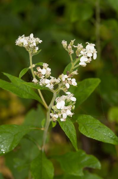 Roadside wildflower - Norfork River Arkansas (9)