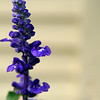 Russian sage blossom close-up.