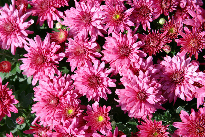Pink mums anyone? Perfect for Mother's Day.