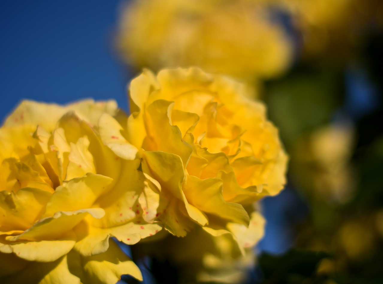 Roses_2010-11-17_620_DJB_rights_reserved