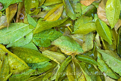 Fallen White Cedar leaves in the morning rain, Wiliamstown