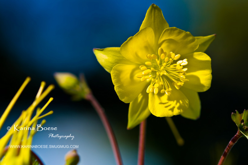 DSC_7062 columbine yellow flower 2010 1