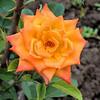 dacha - Paul's roses