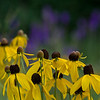 Gray headed Coneflower - July 12, 2012