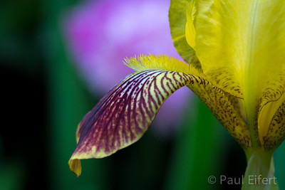 The petal of a yellow Iris extends like a tongue