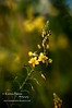 Yellow Bulbine