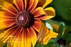 yellow daisy closeup cropped DSC_9682 1