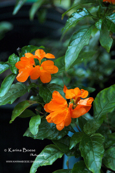 Crossandra Infundibuliformis<br /> Also known as Orange Firecracker / Crossandra<br /> <br /> It's a great tropical indoor plant or outdoor perennial flower with strong orange blooms