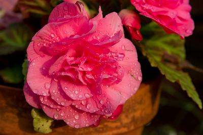 Rain droplets on a flower in our back yard.