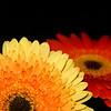 Glowing red and yellow faces of Gerbera daisies.
